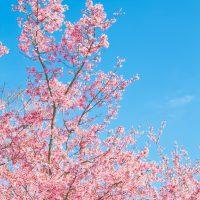 4IS_sukitoorusoratosakura-thumb-autox1600-13870